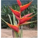 Heliconia Stricta Two Color - PRE.BUL.086 - COLHEITA PROGRAMADA