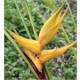Heliconia Yellow Dancer - COLHEITA PROGRAMADA