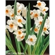 Narciso Two Colors Perfumado - PRE.BUL.021 - COLHEITA PROGRAMADA