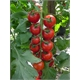 Kit Vamos Plantar Tomate Cereja - JDF.KIT.062
